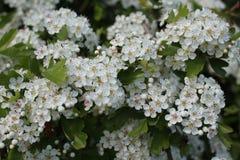 Weißdorn-Blumen stockbild