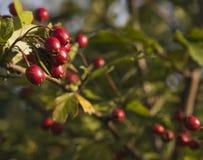 Weißdorn - Frucht des Herbstes Lizenzfreies Stockbild