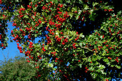 Weißdorn mit roten Beeren Lizenzfreies Stockbild