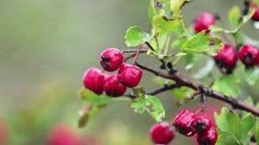 Weißdorn mit roter Beere auf der Niederlassung, Herbstregenwassertropfen, leichte Brise stock video footage