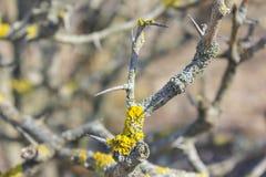 Weißdornbüsche, Nahaufnahmen Frühling, Niederlassungen ohne Blätter lizenzfreies stockfoto