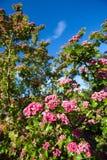 Weißdornbaum Stockfoto