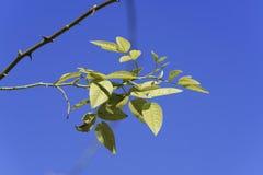 Weißdornblätter Stockfoto