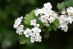 Weißdornblüte stockbilder