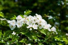 Weißdornblüte Lizenzfreie Stockfotografie