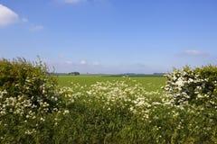 Weißdornblüte und -Wiesen-Kerbel in den szenischen Yorkshire-Wolds im Frühjahr Stockfoto