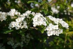 Weißdornblütenfrühling blüht englische Hecke Lizenzfreie Stockfotografie