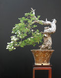 Weißdornbonsais in der Blüte Stockfotografie