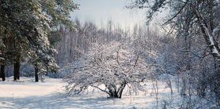 Weißdornbusch im schneebedeckten Holz Lizenzfreie Stockfotografie