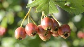 Weißdornheilpflanze mit reifen Beeren stock footage
