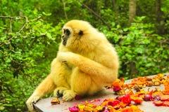 Weiße übergebene Lar Gibbon Lizenzfreie Stockfotografie