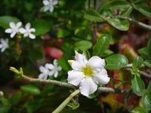Weiße Adeniumblume mit Abschluss herauf Ansicht Lizenzfreies Stockfoto