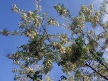 Weiße Akazie blüht auf einem blauen Himmel des Hintergrundes Stockfotografie