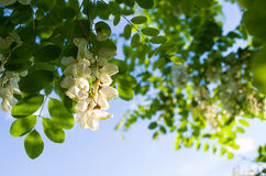 Weiße Akazienblüte Stockbild