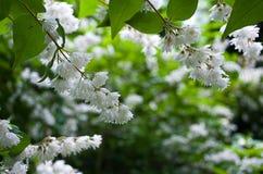 Weiße Akazienblüte Lizenzfreie Stockbilder