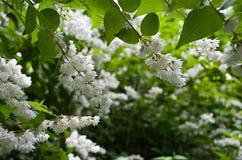 Weiße Akazienblüte Stockbilder