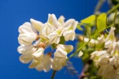Weiße Akazienblüte auf der Frühlingssonne Stockfotos