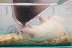 Weiße (Albino) Laborratte Lizenzfreie Stockfotografie