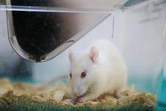 Weiße (Albino) Laborratte Stockfotografie