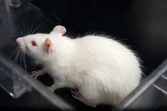 Weiße (Albino) Laborratte im Acrylrahmen Stockbild