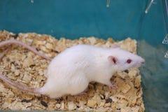 Weiße (Albino) Laborratte im Acrylrahmen Stockfotos