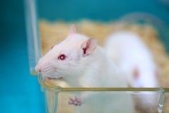 Weiße (Albino) Laborratte im Acrylrahmen Stockbilder