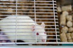 Weiße (Albino) Laborratte im Käfig Stockfoto