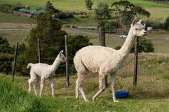Weiße Alpakamutter und -baby lizenzfreie stockbilder