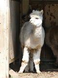 Weiße Alpakastellung am Eingang von Schutz lizenzfreies stockfoto