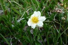Weiße alpine Blume Lizenzfreies Stockfoto