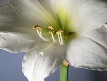 Weiße Amaryllis auf blauem Hintergrund lizenzfreie stockfotos