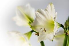 Weiße Amaryllisblume Hippeastrum, romantischer Abschluss herauf Schuss von Lizenzfreie Stockfotos