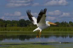 Weiße amerikanische Pelikan Pelecanus erythrorhynchos stockfotos