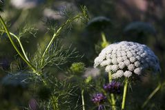 Weiße Ammi-Blumen mit Laub stockfotografie