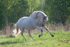 Weiße andalusische Pferdeläufe geben auf dem Sommergebiet frei Lizenzfreies Stockfoto