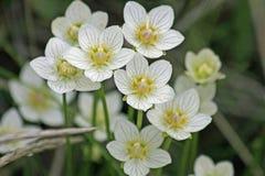 Weiße Anemone lizenzfreie stockfotos