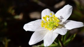Weiße Anemone Lizenzfreie Stockbilder