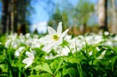 Weiße Anemonen, die im Wald blühen Stockfoto
