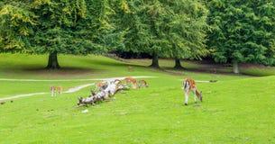 Weiße angebundene Rotwild-Tier-Tiere in der Natur stockbild
