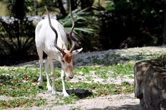 Weiße Antilope der Wüstenkuh (Wüstenkuh nasomaculatus) stockfotos