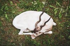 Weiße Antilope Schlafens lizenzfreie stockfotos