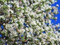 Weiße Apfelbaumblüten Stockbild