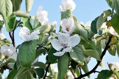 Weiße Apfelblüten Lizenzfreie Stockfotos