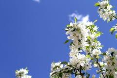 Weiße Apfelblüten auf einem Hintergrund des blauen Himmels stockfoto