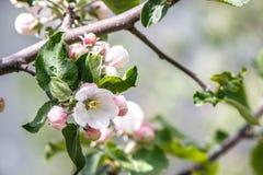 Weiße Apple-Blumen auf einer Niederlassung Stockfotografie