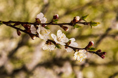 Weiße Aprikosenbaumblumen Stockfoto