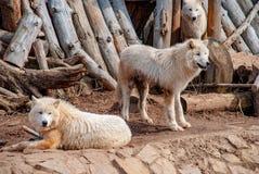 Weiße arktische Wölfe am Zoo Lizenzfreie Stockbilder