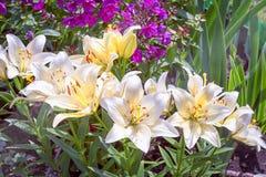 Weiße asiatische Lilien Stockbilder