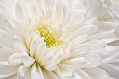Weiße Asterblume Stockfotografie