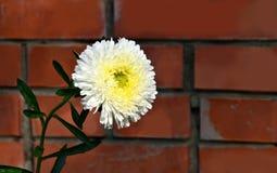 Weiße Astern der einzelnen Blume gegen eine Backsteinmauer Stockbild